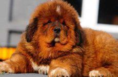 Какая самая дорогая порода собак в мире?