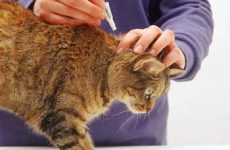 Узнайте как избавиться от блох у кошки быстро?