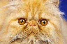 Узнайте сколько живут кошки персы в домашних условиях