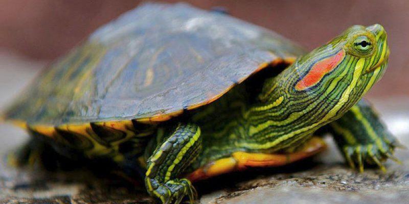 Как ухаживать и чем кормить красноухих черепах в домашних условиях, а также содержание в аквариуме