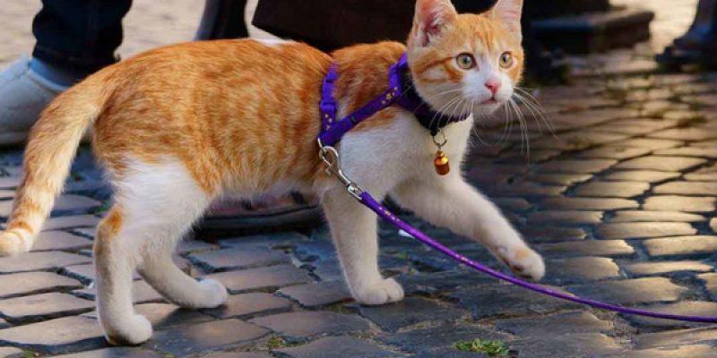 Как правильно одеть шлейку на кота: где купить и сколько стоит, а также как сделать своими руками