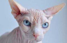 Узнайте, сколько живут лысые кошки породы сфинкс?