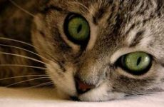 Как считается возраст кошки по человеческим меркам?