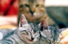 Детородный возраст и в каком возрасте беременеют кошки?