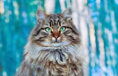 Узнайте сколько живут сибирские кошки?