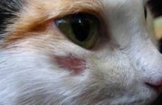 Признаки и симптомы стригущего лишая у кошек, как выглядит?