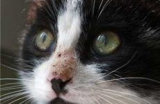 Симптомы и признаки кальцивироза у кошек. Как определить?