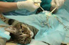 Узнайте в каком возрасте можно стерилизовать кошку?
