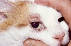 Лечение демодекоза у кошек: капли и прочие лекарства