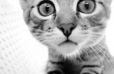 Симптомы и признаки микоплазмоза у кошек