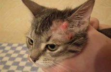 Симптомы нотоэдроза кошек