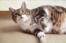 Признаки и симптомы коронавируса у кошек