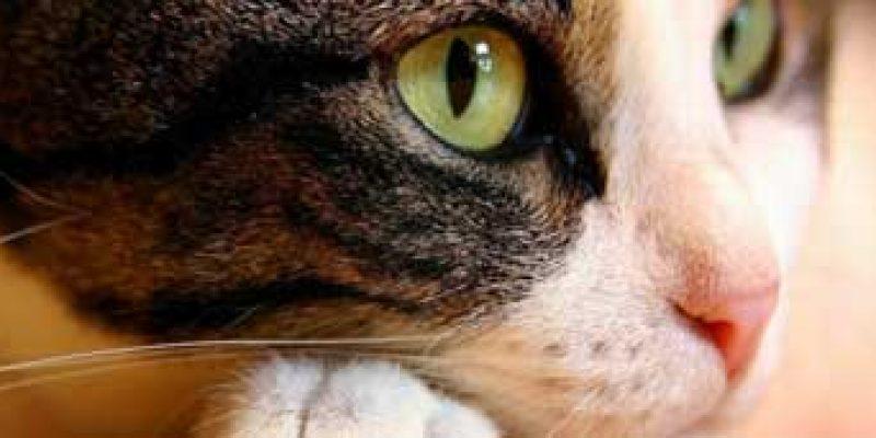 Симптомы признаки лейкоза у кошек