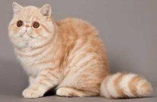 Рейтинг самых ласковых и ручных пород кошек