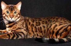 Описание бенгальской породы кошек