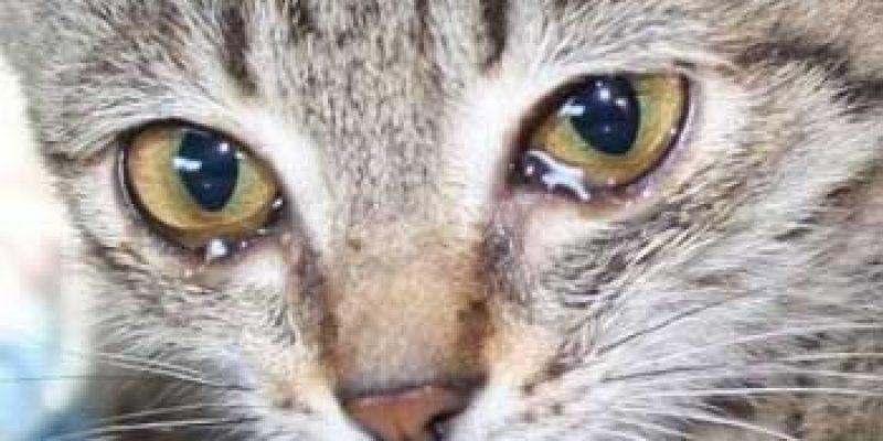 Симптомы и признаки конъюнктивита у кошек