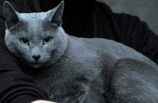 Описание породы серой кошки