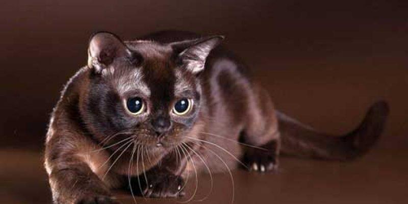 Описание породы кошки бурма