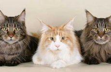 Описание породы кошки мейн кун