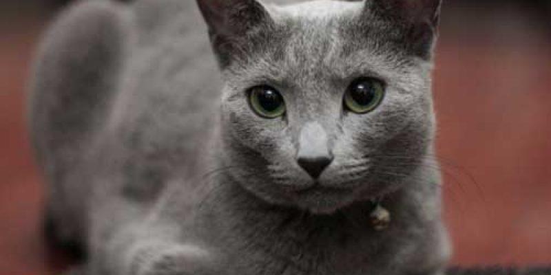 Описание породы Русской голубой кошки