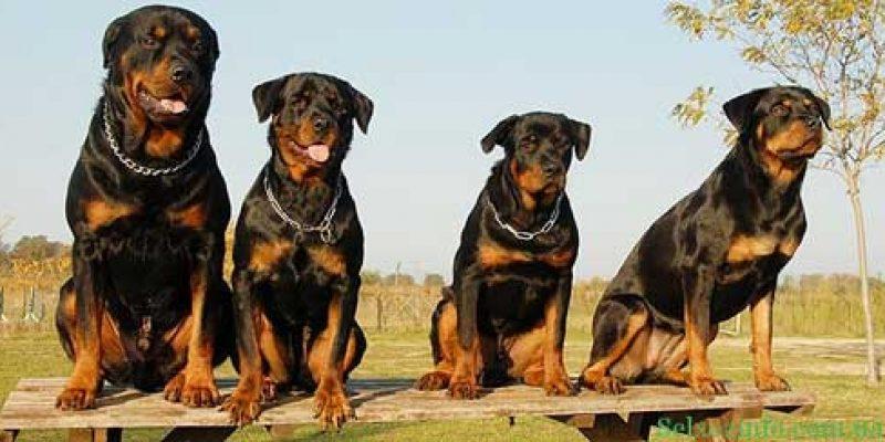 Сторожевые собаки для частного дома: список пород