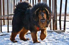 Самая большая собака в мире: какая порода и как выглядит?