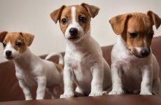 Сколько стоит джек рассел терьер: описание породы, характеристика собак