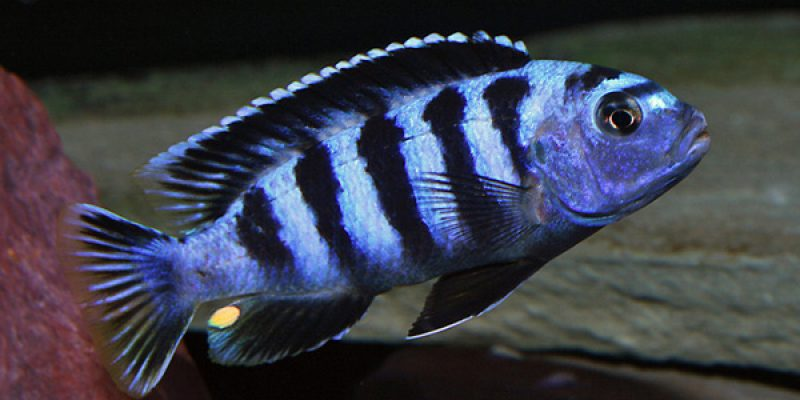 Виды цихлид с названием и описанием: условия содержания и уход, а также совместимость с другими рыбками