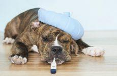 Как проявляется чумка у собак: симптомы и признаки, когда делать прививку и как лечить в домашних условиях
