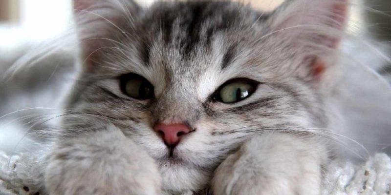 Кот мурчит: что это значит и откуда издается звук