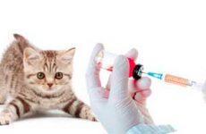 Какие нужно делать прививки кошкам по возрасту: таблица