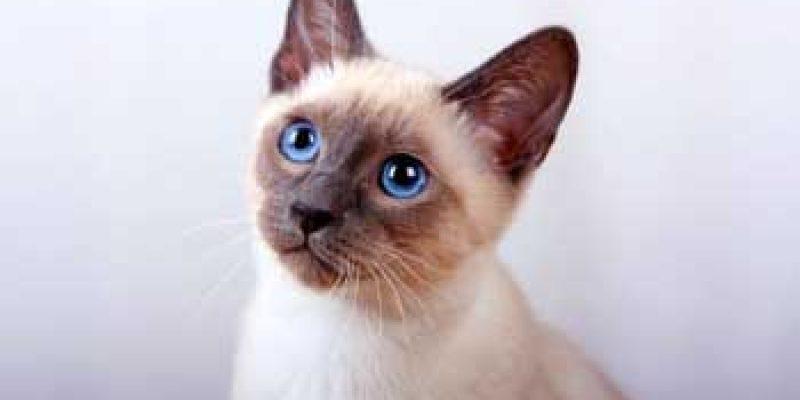 Узнайте сколько живут тайские кошки?