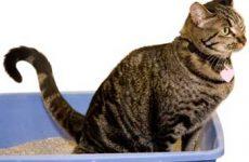 Признаки и симптомы мочекаменной болезни у кошек? Как определить?
