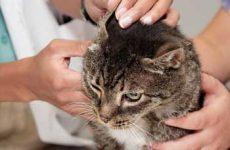 Симптомы и признаки ушного клеща у кошек