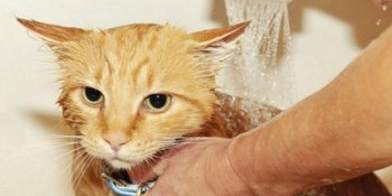 Как мыть котенка шампунем от блох? Как часто и чем мыть котенка от блох?
