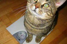Оптимальный вес кошки по возрасту: таблица