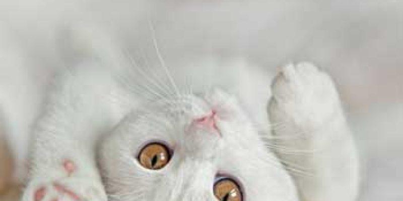 Сколько раз в год и в каком возрасте у кошек начинается течка?