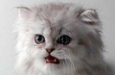 Узнайте сколько лет живут персидские кошки?