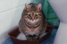 Симптомы и признаки цистита у кошек