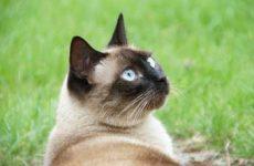 Узнайте, сколько живут сиамские кошки?