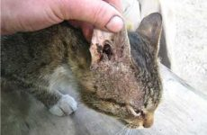 Симптомы и признаки отитов у кошек, как выглядит?