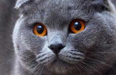 Узнайте сколько живут шотландские вислоухие кошки?