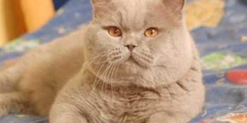 До какого возраста растут кошки?