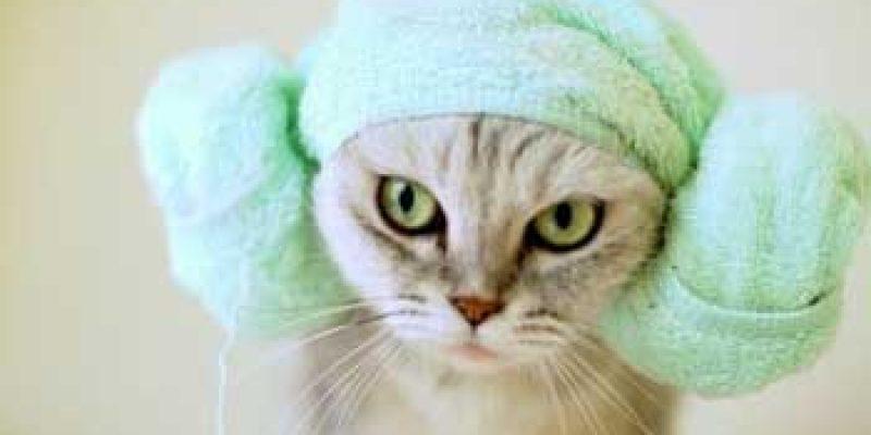 Узнайте как часто можно купать кошек? Сколько раз можно мыть?